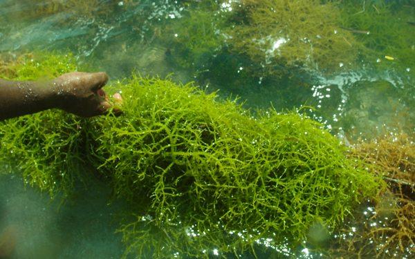 seaweed taffi
