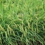 Enhancing heirloom rice production with better technologies 4