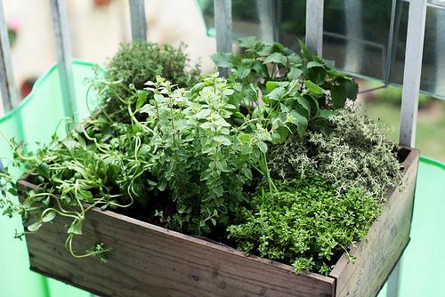 philippine culinary herb garden photo
