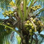 Coconut Production Guide