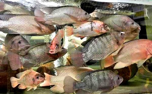 After genetics research, innovation is key to bigger Nile tilapia 1