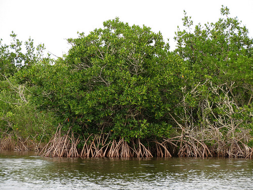 mangrove planting photo