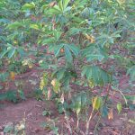 Cassava Production Guide