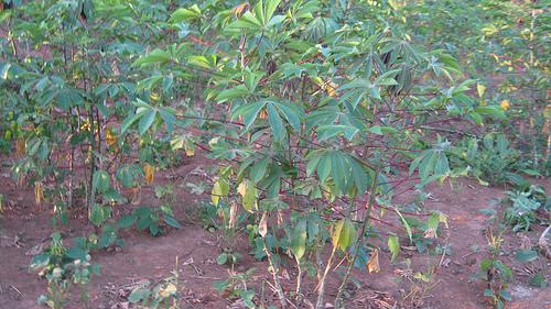cassava production photo
