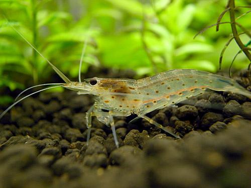freshwater shrimp photo