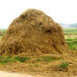 Rice straw maintains soil fertility 6