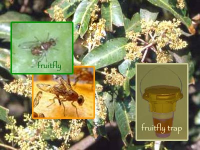 Bait Traps To Control Mango Fruitfly