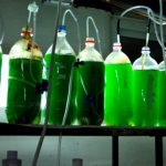 Microalgae can be a potential feed for aquaculture species 1