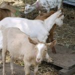 Better livelihood opportunity for farmers promoted by the Goat Enterprise Management modality 4