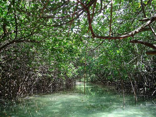 mangrove philippines photo