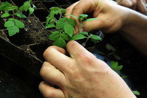 Grafting effective in producing off-season tomato 1