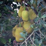 How to Make Jackfruit Beverage 7