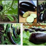 Eggplant Production Guide