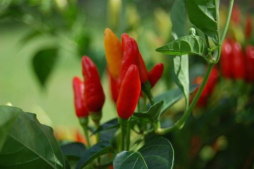 siling labuyo chili pepper photo