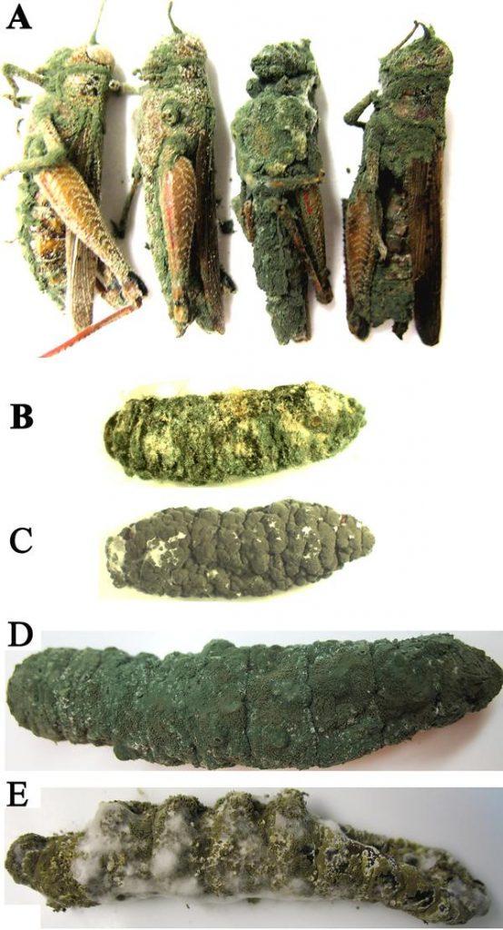Metarhizium: the mighty fungus 1
