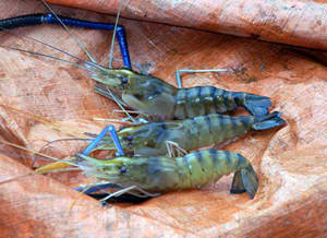 Philippine Shrimp Industry: Getting back to the top through S&T 1