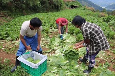 Reducing postharvest losses in Wombok 2