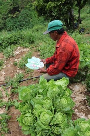 Reducing postharvest losses in Wombok 3