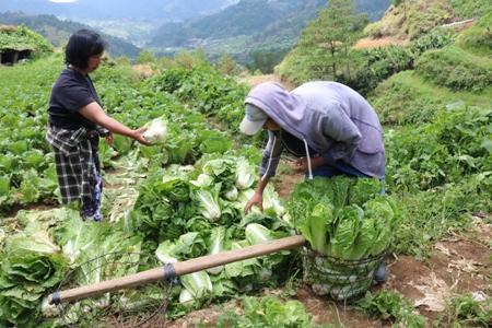Reducing postharvest losses in Wombok 1