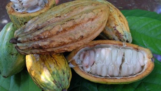 Cacao: Food of the gods turned into wine 2
