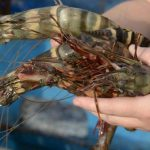giant tiger shrimp