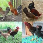 native chicken strains