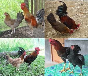 native chicken strains