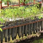 Root Trainer Technology to Improve Growth and Development of Rubber Seedlings