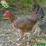 Crossbreeding of Native Chicken Gets Promising Results 3