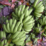Improved Lakatan and Cavendish varieties through S&T